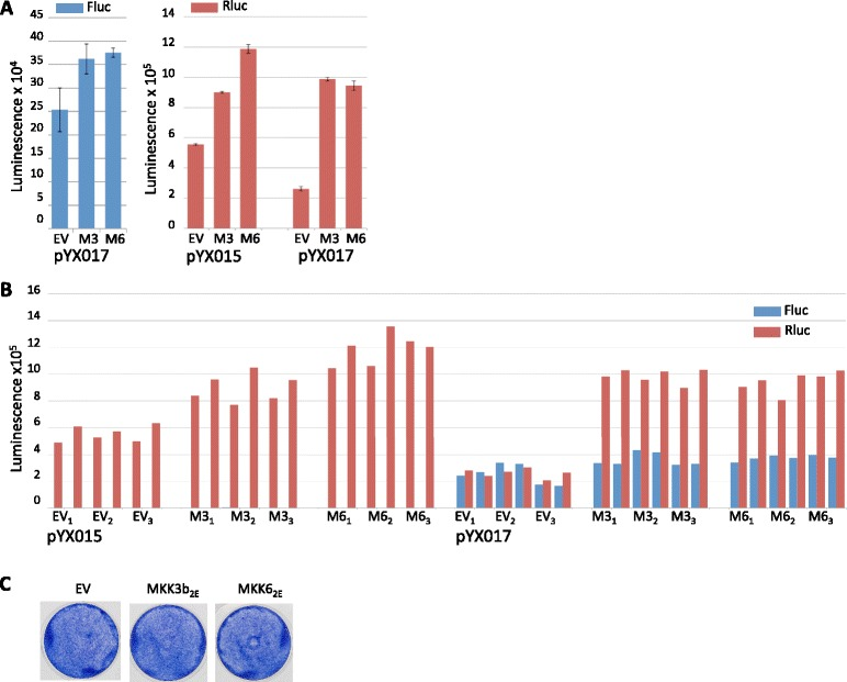 MKK3b 2E and pcDNA-MKK6 2E increase Rluc luminescence. a Mean Fluc ( left ) and Rluc ( right ) luminescence values obtained from lysates of HeLa cells transfected with the L1 reporter plasmid pYX015 or pYX017 in the presence of pcDNA-MKK3b 2E (M3) or pcDNA-MKK6 2E (M6). Averages were derived from data shown in ( b ) by first averaging technical replicates for each biological sample ( n = 2), then using this value to average biological replicates; error bars represent SEM of biological samples, n = 3. b Individual luminescence values are shown for Fluc ( blue ) and Rluc ( red ) obtained from lysates transfected with pYX015 or pYX017 and the indicated pcDNA expression vectors; technical replicates are side-by-side; biological replicates are indicated with subscripts. c Wells show effects on cell growth in response to expression of pcDNA-MKK3b 2E (M3) or pcDNA-MKK6 2E (M6)
