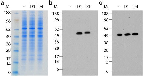 Expression of D1NS1 and D4NS1 by transfected HEK cells. HEK cell lysates were analyzed by aqua-staining and Western blot analysis after separation on NuPAGE Novex 4–12 % Bis-Tris Gels under reducing conditions (addition of reducing agent and heating of the samples). While aqua-staining of lysates prepared from HEK-derived cell lines expressing D1NS1 (D1) and D4NS1 (D4) showed no additional band of the predicted size of the NS1 proteins, as compared to the lysates of untransfected HEK cells (−) ( a ), Western blot analysis using anti-hexa-His tag antibodies confirmed the expression of D1NS1 and D4NS1 by the HEK cells ( b ). Western blotting using anti-tubulin antibodies was performed as a control for the amount of cellular proteins of the untransfected and transfected HEK cell lysates loaded on the gels ( c ). M = molecular weight marker in kDa