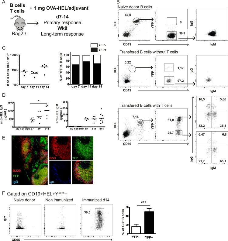 Development of B cell primary response upon adoptive transfer of SW HEL .AID/YFP.Rag2 -/- B cells. (A) Rag2-/- hosts were injected intravenously with naive SW HEL .AID/YFP.Rag2 -/- B cells together with OTII.Rag2 -/- naive CD4 T cells. Recipient mice were immunized 24 hours later and B cell response analyzed 7, 14 days and 8 weeks after. (B) Flow cytometric analyses of specific HEL + CD19 + (left panels) splenic B cells from SW HEL .AID/YFP.Rag2 -/- naive donor (upper panels), immunized mice reconstituted only with B cells (middle panels) and immunized mice reconstituted with both B and T cells 14 days after immunization (lower panels), for the expression of YFP (middle panels), and IgM and IgG (right panels). (C) Number of splenic B cells recovered from the recipient mice (left panel) and repartition of AID/YFP- and AID/YFP+ among splenic B cells (right panel) 7, 11 and 14 days after immunization. (D) Seric levels of anti-HEL specific IgG (left panel) and IgM (right panel) in immunized recipients 7, 11 and 14 days after immunization. (E) AID/YFP (green), B220 (red), IgD (blue) (right panels) and merged ( left and right panels) expression by confocal microscopy analysis of spleen slices 14 days after immunization. (F) Analysis of germinal center B cells in immunized mice. Left panel shows the co-expression of Gl7 and CD95 by B cells from naive (left dot plot), non-immunized (middle dot plot) and 14 day-immunized mice (right dot plot). Right panel shows the % of Gl7hi CD95+ cells among AID/YFP- (white bar) and AID/YFP+ (black bar) splenic B cell subsets from 14 day-immunized mice. Data (mean ± SEM) are shown for one experiment representative of 3, with 4–5 mice per group. Significances were calculated using Student t -tests, *, P