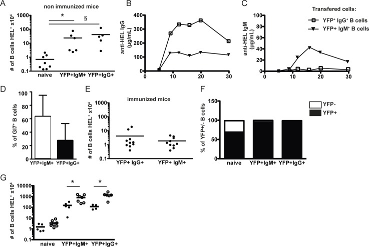 Functions of AID/YFP+ memory B cell subsets. Rag2-/- recipient mice were injected with naive SW HEL .AID/YFP.Rag2 -/- B cells and OTII.Rag2-/- naive CD4 T cells and immunized as in Fig 1 . Eight weeks after immunization, AID/YFP+ IgM+ and AID/YFP+ IgG+ subsets were isolated and transferred alone into secondary Rag2-/- recipient mice. Naive B cells were transferred as controls. (A) Numbers of splenic B cells recovered from the different secondary hosts without immunization. (B) The secondary hosts were immunized 1 day after transfer and the seric levels of anti-HEL specific IgG (C) and IgM were measured 6, 9, 12, 16, 20 and 30 days after immunization. (D) the % of splenic Gl7 hi B cells in secondary hosts transferred with YFP+ IgM+ (white) or YFP+ IgG+ (black) B cells was analyzed by Flow Cytometry 3 weeks after immunization and (F) the relative % of AID/YFP- and AID/YFP+ cells was assessed. In another settings, (G) the different secondary hosts were immunized either 1 day (black circles) or 30 days (white circles) after transfer and the number of total splenic B cells recovered from the spleen of different secondary hosts was determined 6 weeks after immunization. Data (mean ± SEM) are shown for one experiment representative of 2, with 4–5 mice per group. Significances were calculated using Student t -tests, *, P