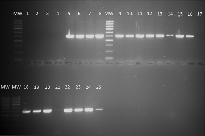 Gel electrophoresis of nested PCR amplification products obtained from <t>DNA</t> extracted from horse pus and blood samples. DNA preparations were amplified with primers P3/2R8 (first round) and then diluted 1 in 10 and subjected to a second round of PCR amplification with PCR primers F5/2R5 to generate ITS gene products (514 bp) indicative of the presence of Histoplasma DNA. All amplification products were subsequently sequenced to confirm > 97% identity and the closest match to Histoplasma capsulatus ITS region DNA. Lanes 1 to 4, negative controls (DNA extracts from S. cerevisiae , E. coli , pus from a horse in the UK, and DNA- and RNA-free water, respectively); lane 5, H. capsulatum var. capsulatum control DNA; lane 6, H. capsulatum var. farciminosum control DNA; lanes 7 to 25, PCR amplicons of <t>Qiagen</t> DNA extracts of blood and pus from horses with suspected EZL (lanes 7 to 23, DNA extracts from pus, lanes 24 and 25, DNA extracts from blood); lanes MW, molecular weight markers).