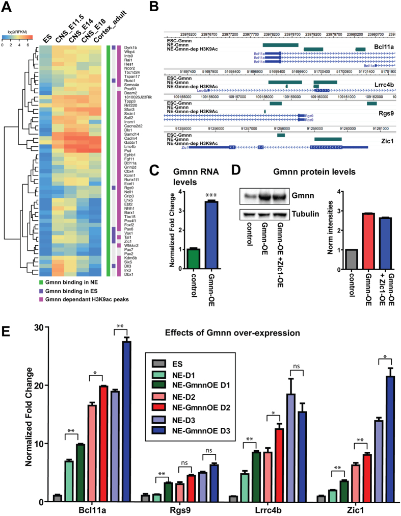 Geminin over-expression during neural cell fate acquisition promotes the expression of Gmnn-associated genes with Gmnn-dependent histone acetylation. ( A ) Clustering of a subset of Gmnn-associated genes that also exhibit Gmnn-dependent H3K9ac, by comparison with their expression levels in ES cells, embryonic CNS, and adult cortex. ( B ) Locations of Gmnn association or Gmnn-dependent H3K9ac are shown for several genes in ( A ) (WashU Epigenome Browser). ( C,D ) ES cells were transfected and selected to overexpress a Gmnn cDNA construct, and ( C ) qRTPCR and ( D ) immunoblotting demonstrate increased Gmnn expression levels at the mRNA and protein level. ( E ) Levels of expression of four Gmnn-associated genes were defined on days 1–3 of neural fate acquisition, with versus without Gmnn over-expression (Gmnn OE). Gene expression levels on each day of NE fate acquisition are expressed relative to ES = 1.0 and p-values shown (student's t-test) compare expression with versus without Gmnn OE on each day of the NE fate acquistion: ** =