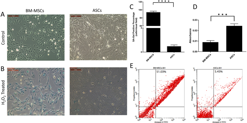 ASCs are more resistant to oxidative stress-induced senescence than BM-MSCs: BM-MSCs and ASCs were exposed to oxidative stress by treating cells with a dose of 600 μM H 2 O 2 . ( A ) Control cells, ( B ) H 2 O 2 treated cells showing more than 90% of BM-MSCs positive for SA-β-gal, and ASCs negative for SA-β-gal. ( C ) Representative images are displayed and data are shown as mean ± S.D. (error bars) of counted SA-Gal positive cells from 5 microscopic fields of 4 independent replicates. *****p