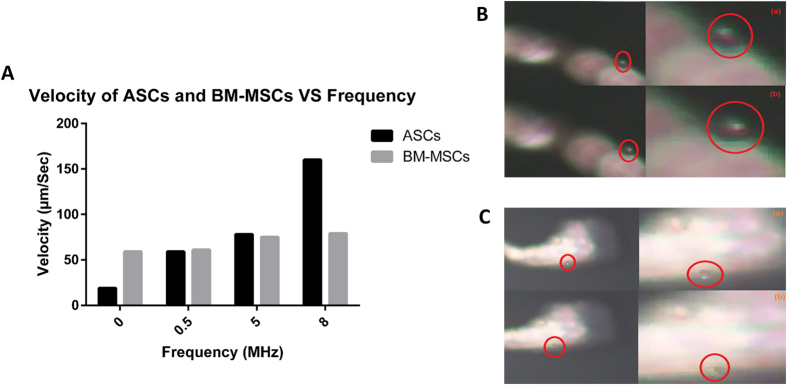( A ) Velocity of ASCs and BM-MSCs versus frequency. Snap shots of rotation of ( B ) ASCs and ( C ) BM-MSCs at 8 MHz, 10 Vpp.
