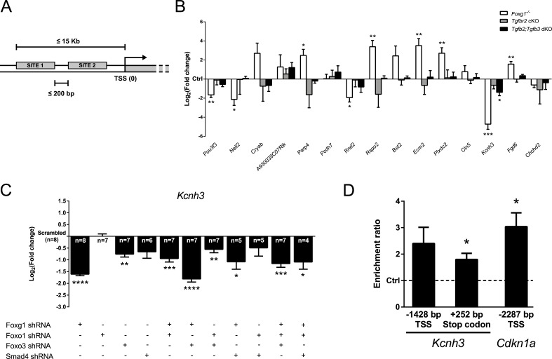Identification of novel candidate genes regulated through FOXG1/SMAD crosstalk A. Whole mouse genome was screened for genes possessing both Forkhead box- (GTAAACAA) and SMAD4-specific (AGAC) consensus DNA-binding sites in a range of 15 Kb before the TSS and placed not farther than 200 bp from each other. Selected candidate genes fulfilled these criteria and were regulated in our microarray analysis. B. Transcriptional expression of candidate genes was assessed by qRTPCR using E13.5 telencephalic hemispheres from Foxg1 −/− , Tgfbr2 cKO and Tgfb2;Tgfb3 dKO mice. Results are expressed as Log 2 (fold change)±SEM of target gene expression in mutants as compared to respective controls (Ctrl, set as 0). Kcnh3 was found to be regulated in both Foxg1 −/− and Tgfb2;Tgfb3 dKO mice and was thus selected for further analyses. *** p