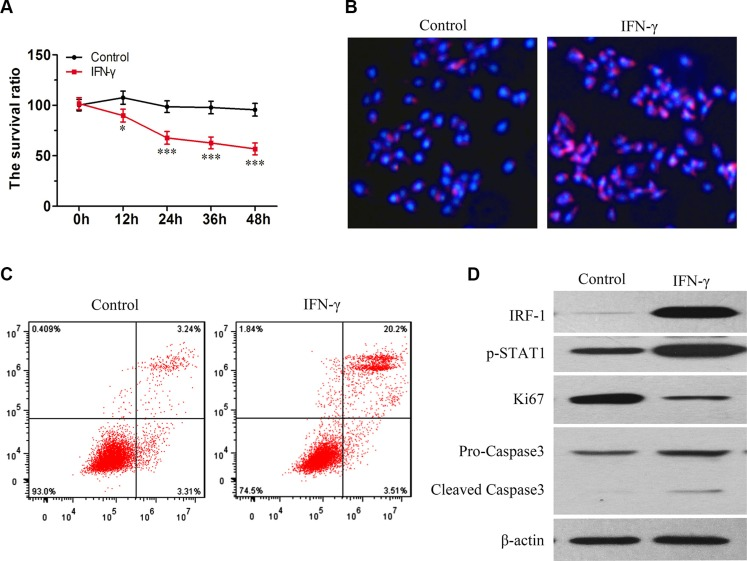 IFN-γ induced apoptosis in SK-Hep1 cells is associated with increasing levels of IRF-1 and pSTAT1 ( A ) Viability of living cells was decreased as a function of time in the IFN-γ group (mean ± SD; * P