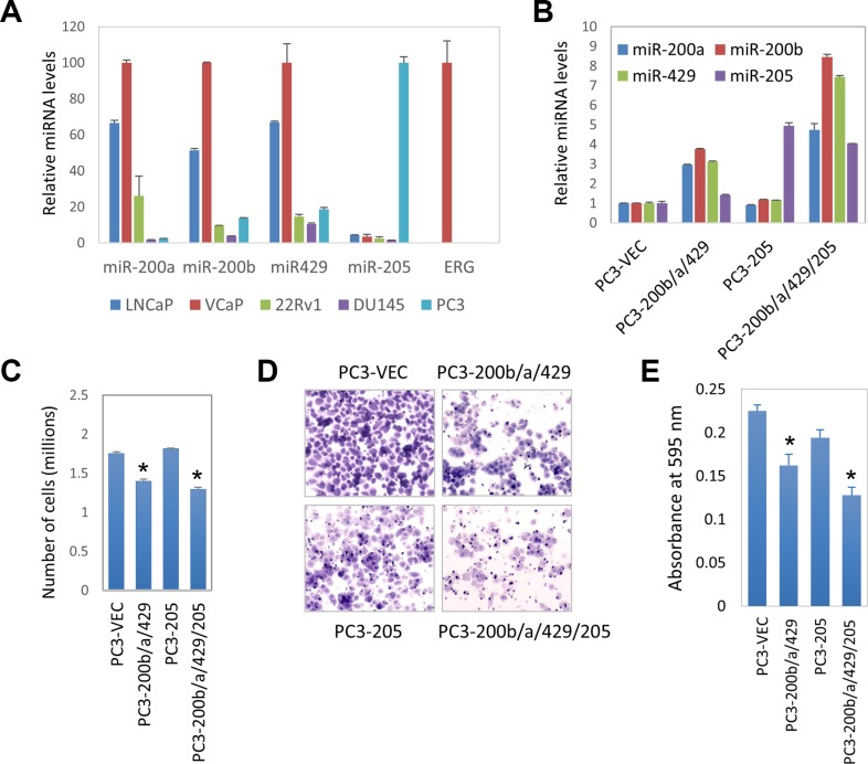 Role of miR-200b subfamily and miR-205 on prostate cancer proliferation and invasion ( A ) Expression levels of miR-200a, miR-200b, miR-429, miR-205, and ERG in commonly used prostate cancer cell lines, including LNCaP, VCaP, 22RV1, PC3, DU145. Mature miRNAs expression levels were measured by qRT-PCR, normalized against RNU48 internal control. ( B ) Expression of miRNAs in PC3 stable cell lines, including PC3-vec, PC3-miR-200b/a/429, PC3-miR-205, and PC3-miR-200b/a/429/205. ( C ) The effect of miRNAs on PC3 cell growth as determined by MTT assay. ( D ) PC3 stable cell <t>Matrigel</t> invasion assay using BD <t>Biocoat</t> Matrigel Invasion Chambers. Representative pictures of invaded cells stained with crystal violet. Four stable cell lines, PC3-vec, PC3-miR-200b/a/429, PC3-miR-205, and PC3-miR-200b/a/429/205. ( E ) Quantification of invasion. Invaded cells were stained with crystal violet, which was then solubilized in 1% SDS. The absorbance was measured at 595 nm. Error bars, mean ± SEM. * P
