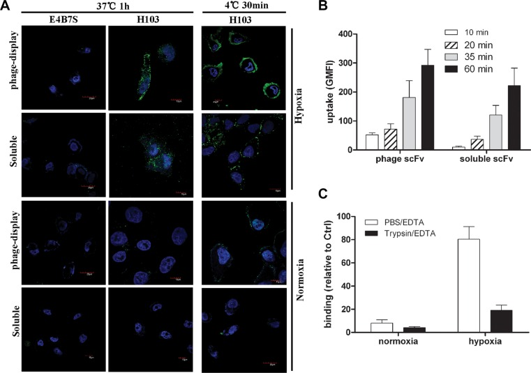 Internalization and binding analysis of the H103 scFv Ab ( A ) Normoxic or hypoxicc treated HCCLM3 cells were incubated with H103 scFv Ab either in phage-display form or soluble form. After washing with PBST, the binding and uptake of the H103 scFv Ab was detected with AF488 conjugated anti-M13 (PVIII) or anti-His Abs under a confocal microscope. E4B7S scFv was used as the control. ( B ) The uptakes of the H103 scFv Ab at different time points in hypoxic HCCLM3 cells were measured by flow cytometric analysis. ( C ) After detachment with <t>PBS/EDTA</t> or T/E, the binding of the H103 scFv Ab on HCCLM3 cells was analyzed by flow cytometry.