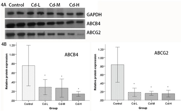 Analysis of ABCB4 and ABCG2 protein expression by Western blot A. Cell lysates from the placentas of female SD rats were electrophoretically separated by SDS-PAGE, transferred to PVDF membranes and probed using ABCB4 and ABCG2 antibodies. ABCB4 and ABCG2 levels were compared between the Cd-treated groups and the control group. B. Relative quantities based on OD are shown. Data are presented as means±SD of relative fold changes. *P
