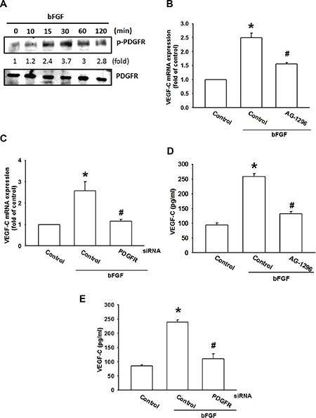 The PDGFR signaling pathway is involved in bFGF-induced VEGF-C expression ( A ) JJ012 cells were incubated with bFGF (30 ng/mL) for the indicated time intervals; PDGFR phosphorylation was examined by western blotting ( n = 5). ( B – E ) JJ012 cells were pretreated for 30 min with AG-1296 (3 μM) or transfected with PDGFR siRNA for 24 h, followed by stimulation with bFGF (30 ng/mL) for 24 h. VEGF-C expression was examined by qPCR and ELISA ( n = 5–7). Data are expressed as the mean ± SEM: * P