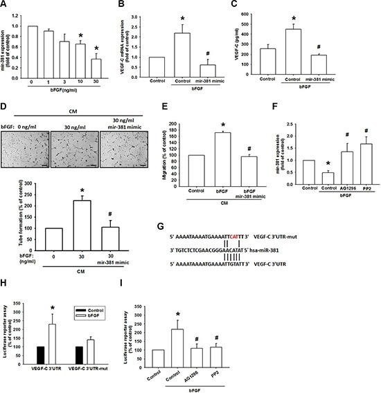 bFGF promotes <t>VEGF-C</t> via downregulation of miR-381 ( A ) JJ012 cells were incubated with bFGF (0–30 ng/mL) for 24 h; miR-381 expression was examined by qPCR ( n = 6). ( B and C ) JJ012 cells were transfected with miRNA control or miR-381 mimic for 24 h and stimulated with bFGF (30 ng/mL) for 24 h. VEGF-C expression was examined by qPCR and ELISA ( n = 5–7). ( D and E ) Medium was collected as CM, then applied to LECs for 24 h; capillary-like structure formation and in vitro cell migration in LECs was examined by tube formation and the Transwell assay (Scar bar = 100 μm) ( n = 5–7). ( F ) Cells were pretreated for 30 min with AG-1296 or PP2 and stimulated with bFGF (30 ng/mL) for 24 h. miR-381 expression was examined by qPCR ( n = 5). ( G ) Schematic 3′UTR representation of the human VEGF-C containing miR-381 binding site. ( H ) JJ012 cells were transfected with the wt-VEGFC-3′UTR or mt-VEGFC-3′UTR plasmids for 24 h and stimulated with bFGF (30 ng/mL) for 24 h; relative luciferase/renilla activities were measured as described in the Methods section ( n = 5). ( I ) JJ012 cells were pretreated for 30 min with AG-1296 or PP2 and stimulated with bFGF for 24 h. wt-VEGFC-3′UTR relative luciferase/renilla activities were measured as described in the Methods section ( n = 5). Data are expressed as the mean ± SEM: * P