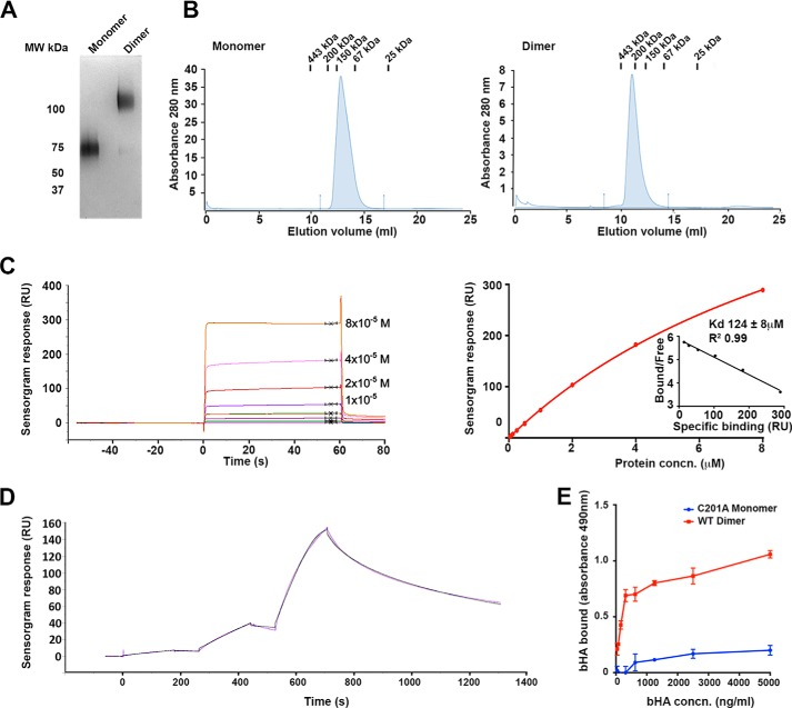 """LYVE-1 homodimerization greatly increase HA binding affinity. Binding affinities of soluble hLYVE-1 Δ238 monomer (C201A non-dimerizing mutant) and homodimer derived from transfected CHO cells ( A and B ) were determined by surface plasmon resonance analysis with HMW HA immobilized on the sensor chip ( C and D ) and by microtiter plate analysis ( E ) with immobilized receptor and bHA. A , SDS-PAGE analysis of the purified hLYVE-1 monomer and dimer under non-reducing conditions, detected by staining with Coomassie Blue. B , Superdex-200 size exclusion chromatography profiles of purified monomer and dimer preparations with elution positions of molecular weight calibration markers shown at top. C , Biacore sensorgram and the associated binding curve with Scatchard plot ( inset ; RU , response units) for hLYVE-1 monomer measured at equilibrium with varying analyte concentrations (0.5–128 μ m ). The K D value was determined from independent replicate analyses (mean ± S.E. n = 3) by fitting the data to a 1:1 Langmuir binding isotherm. The Scatchard plot indicates this binding model fits the data well. D , Biacore sensorgram for hLYVE-1 homodimer measured as a single-cycle kinetic experiment using sequential injections at LYVE-1 concentrations of 12.8, 64, and 320 n m ( purple line ). Evaluation and fitting was performed using Biaevaluation software assuming bivalency for the analyte ( black line ). Further analysis including rationalization of the number of parameters is included in the supplemental information . E , analysis of bHA binding to hLYVE-1 Δ238 monomer (non-dimerizing C201A mutant) or intact LYVE-1 Δ238 homodimer immobilized on a microtiter plate, detected colorimetrically with streptavidin HRP (absorbance 490 nm) as described under """"Experimental Procedures."""" Values are the mean ± S.E. n = 3. Data shown are from representative experiments that were repeated at least three times."""