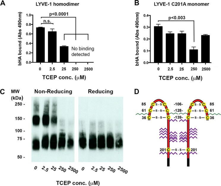 The Cys-201 disulfide linkage in the LYVE-1 homodimer is highly labile. The sensitivity to reduction of the Cys-201 intermolecular disulfide was investigated after exposure of soluble hLYVE-1 homodimers to varying concentrations of TCEP and assessment of the consequences for both HA binding and dimer disassembly ( A–C ) A and B , concentration-dependent effects of TCEP treatment on HMW bHA binding to immobilized hLYVE-1 (Δ238 His 10 ) homodimers and hLYVE-1 (Δ238 His 10 ) monomer (non-dimerizing C201A mutant), respectively, as detected with a streptavidin HRP conjugate. Values in each case are the mean ± S.E. n = 3. Statistics p values were obtained using the two-tailed unpaired t test ( n.s. , non-significant). C , non-reducing SDS-PAGE analysis showing concentration-dependent effects of TCEP treatment on soluble homodimer disassembly assessed by Western blotting with LYVE-1 polyclonal antibody and green IRdye® 800 conjugate. D , schematic showing the location and numbering of individual cysteines ( yellow circles ) forming Link domain disulfides in the LYVE-1 homodimer; N - and O -linked glycan chains are colored green and red , respectively. Data shown are from representative experiments that were repeated three times.