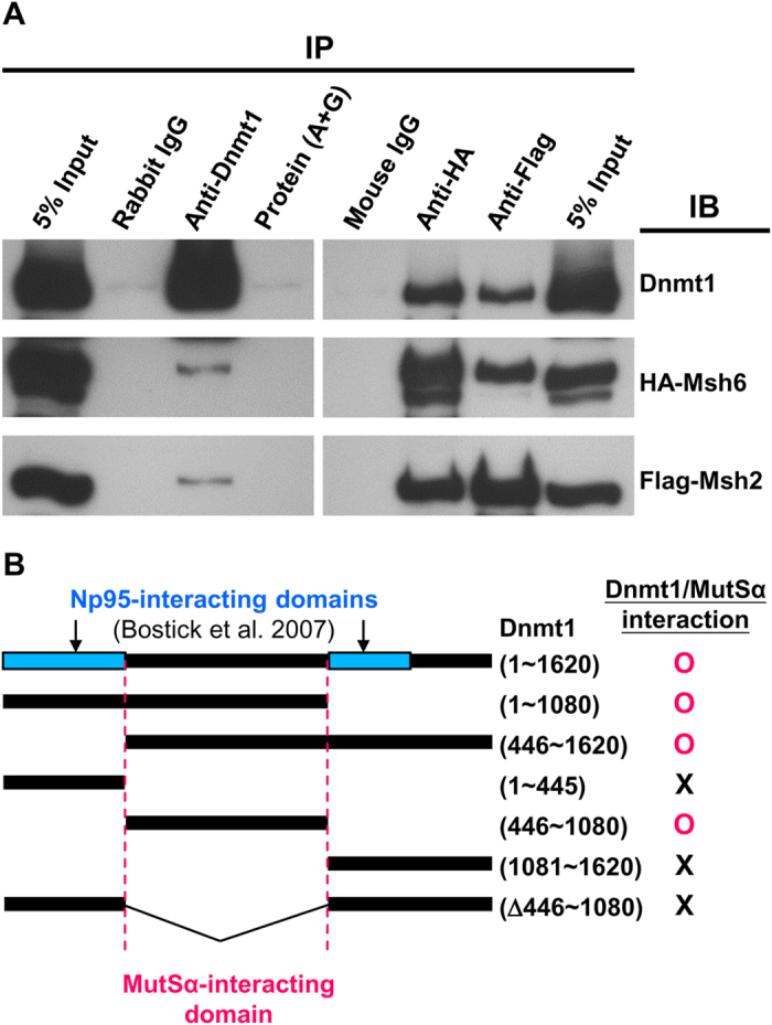 Physical interaction between Dnmt1 and the MutSα complex. ( A ) The potential for physical interaction between Dnmt1 and MutSα complex was examined by immunoprecipitation (IP) coupled with Western blotting (IB). Extracts from 293T cells co-expressing Dnmt1, HA-Msh6 and Flag-Msh2 were immunoprecipitated with control rabbit IgG, mouse IgG, anti-Dnmt1, anti-HA or anti-Flag, and then analyzed by IB using the latter three antibodies. The detection by IB of HA-Msh6 and Flag-Msh2 in the anti-Dnmt1 precipitate, as well as detection of Dnmt1 in the anti-HA (Msh6) or anti-Flag (Msh2) precipitate, indicates that Dnmt1 physically interacts with the MutSα complex. ( B ) Domain(s) of Dnmt1 interacting with the MutSα complex. The domain(s) was mapped by IP/IB assay of extracts from 293T cells co-expressing HA-Msh6, Flag-Msh2, and different fragments of Dnmt1. As summarized in the diagram, the IP/IB data (see Supplementary Fig. S4 ) show that Dnmt1 interacts with the MutSα complex through its central region (a.a. 446~1080), which is non-overlapping with the Np95-interacting domains of Dnmt1.