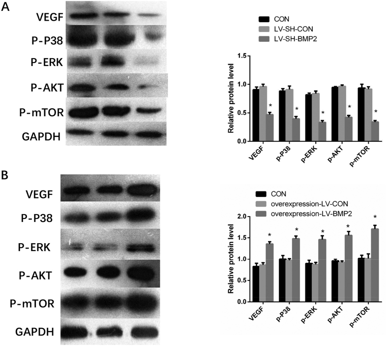 Expressions of VEGF, p-P38, p-ERK, p-AKT and p-m-TOR detected by Western blot. ( A ) BMP2 silence down-regulates the expression of VEGF, p-P38, p-ERK, p-AKT and p-m-TOR expressions ( B ) The protein expressions of VEGF, p-P38, p-ERK, p-AKT and p-m-TOR are up-regulated in overexpression-LV-BMP2 group Notes: BMP-2: Bone morphogenetic protein 2; VEGF: vascular endothelial growth factor * Indicates P
