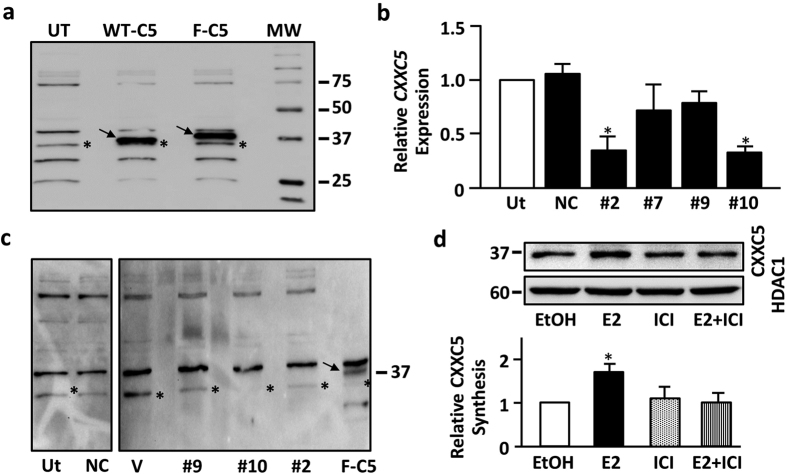 Detection of CXXC5 protein in MCF7 cells. ( a ) MCF7 cells were un-transfected (UT) or transfected with pcDNA3.1 (−) bearing WT-CXXC5 (WT-C5) or Flag-CXXC5 (F-C5) cDNA for 24 h. Cells were then subjected to nuclear protein extraction, SDS 10%-PAGE and WB using a CXXC5-specific antibody, ab106533. Star in the un-transfected (UT) lane denotes the putative endogenous CXXC5 protein, while arrows indicate the overexpressed WT-CXXC5 or Flag-CXXC. Molecular weight marker is in kDa. A representative image from two independent experiments is shown. It should be noted that we used 100 μg nuclear extracts of UT cells, while 25 μg of nuclear extracts of WT-C5 or F-C5 cells were used to prevent overshadowing effects of the overexpressed CXXC5 ( Supplemental Data, Fig. 1 ). ( b ) MCF7 cells were transfected without (un-transfected, UT) or with AllStars negative control siRNA (NC), siRNA#2, #7, #9 or #10. 24 h later, cells were subjected to total RNA extractions and RT-qPCR using CXXC5 specific-primers. CXXC5 transcript levels in siRNA transfected cells were compared to levels in un-transfected cells, which was set to 1. Results are the mean ± SD of three biological repeats with three technical replicates. Asterisk (*) denotes significant change. ( c ) MCF7 cells were transfected for 24 h without (un-transfected, UT) or with AllStars (NC), siRNA#2, #7, #9 or #10. We also transfected cells with pcDNA3.1 bearing none (Vector, V) or WT-CXXC5 cDNA as control. 100 μg nuclear protein extracts, with the exception of F-C5 which was 25 μg to prevent the shadowing effect of the overexpressed protein on the endogenous protein, were subjected to WB using ab106533. Star denotes the endogenous CXXC5, while the arrow indicates the overexpressed Flag-CXXC5. A representative image from two independent experiments is shown. ( d ) Effects of ER ligands on endogenous CXXC5. MCF7 cells grown in medium containing CD-FBS for 48 h were treated without (EtOH, 0.01%) or with 10 −9 M E2 and/or 10 −7 M ICI f