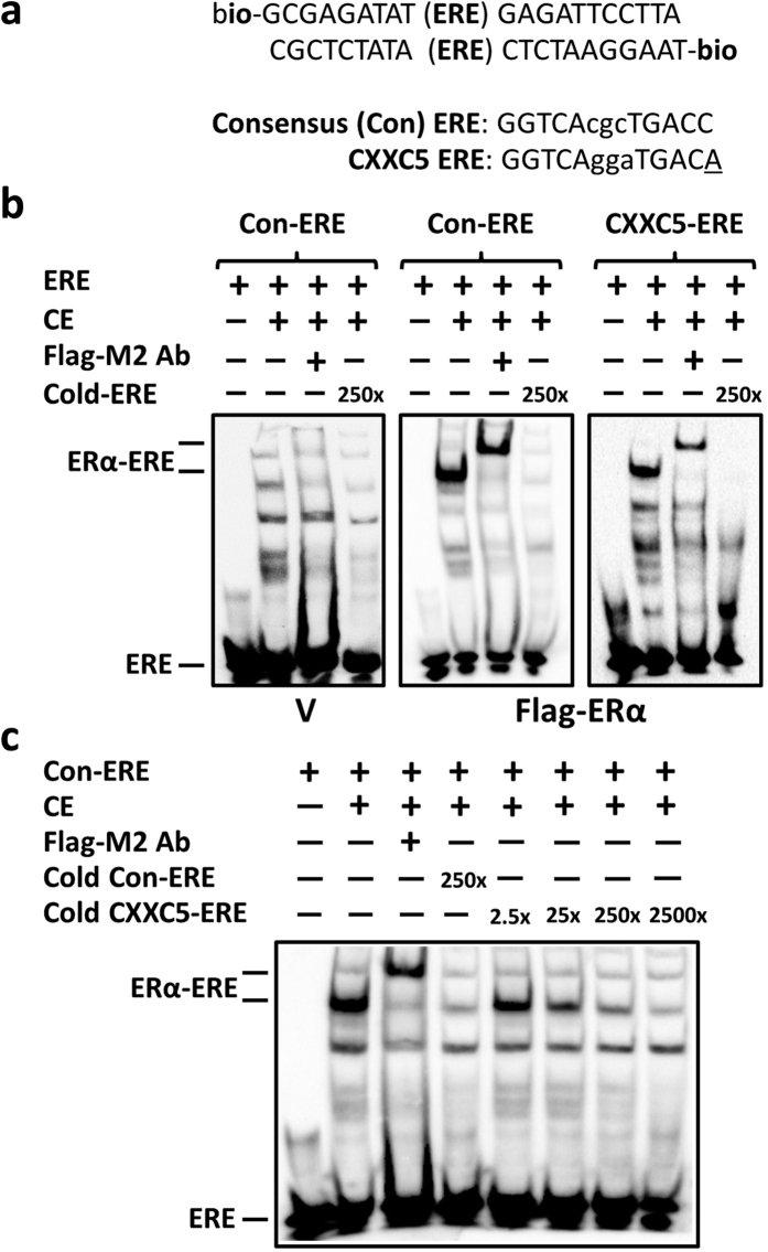Electrophoretic mobility Shift Assay (EMSA). ( a ) The upper and lower oligomer sequences, which surround (parenthesis) the consensus-ERE (Con-ERE) or CXXC5-ERE test sequence, are biotinylated at 5′-ends. Underlined A residue in CXXC5-ERE indicates the variation from the consensus. ( b,c ) Cell extracts (CE; 10 μg) of MDAMB231 cells transfected with pcDNA3.1(−) bearing none (Vector, V) or the Flag-ERα cDNA were subjected to EMSA using biotinylated DNA (40 fmol) with (+) or without (−) the Flag-M2 antibody (Flag-M2) in the absence (−) or presence (+) of cold competitor at indicated amounts. ERα-ERE denotes the protein-bound biotinylated ERE. ERE indicates the unbound (free) biotinylated ERE. A representative result from three independent determinations is shown.