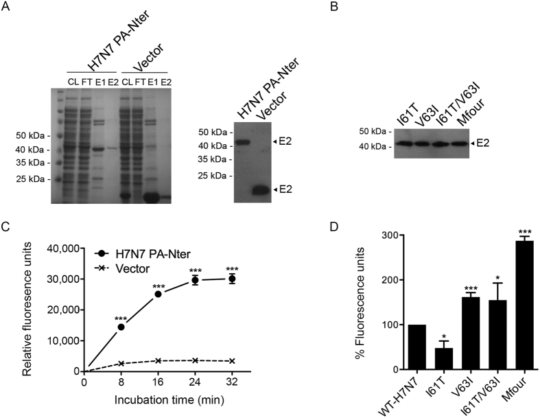 Comparison of the endonuclease activity of virus PA-Nter proteins expressed in E. coli . Virus PA-Nter proteins were expressed in E. coli , purified, and identified by SDS-PAGE and Western blot using Anti-His antibodies. After concentrated and quantified, the PA-Nter proteins were then incubated with DNA substrates, which contained FAM and BHQ conjugated to the 5′ and 3′ ends, respectively. Fluorescence signals were released and measured at the indicated time points. The purified protein from unmodified vector was achieved and used as a negative control. ( A ) The Coomassie-stained SDS-PAGE image and Western blot result of WT-H7N7 PA-Nter and negative control protein (Vector). CL, cell lysates; FT, flow-through (wash fractions); E1, 1st eluates; and E2, 2nd eluates. E2 proteins were concentrated and used for the endonuclease assay. ( B ) Western blot result of purified PA-Nter proteins of the indicated mutants. ( C ) Endonuclease assay of the WT-H7N7 PA-Nter protein. Data represented are means ± SD of independent experiments performed at least three times. ( D ) Comparison of the endonuclease activity of the PA-Nter proteins of WT-H7N7 and the indicated mutants. Fluorescence signals were collected at 32 minutes after incubation. The experiments were independently performed at least three times. Results presented are the relative endonuclease activity of PA-Nter proteins of the indicated mutants to that of WT-H7N7 (means ± SD).