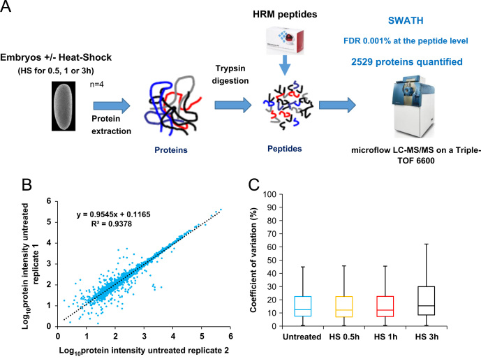 A) Overall strategy to characterize the dynamics of the D. melanogaster embryonic proteome after heat-shock treatment (HS) using SWATH-MS. Embryos were collected and treated for 0.5, 1 or 3 h at 37 °C or untreated. Proteins were extracted, digested with trypsin and HRM peptides were spiked into the samples before injection. The samples were analysed using SWATH acquisition mode on a Sciex Triple-TOF 6600. The resulting files were analysed with Spectronaut TM . 2529 proteins were quantified using this workflow. B) Reproducibility of the protein intensity measurements between biological replicates. The Log 10 transformed protein intensities were plotted for replicates 1 and 2 of the untreated condition. C) The Coefficient of variation (CVs) between the biological replicates were calculated for each condition.