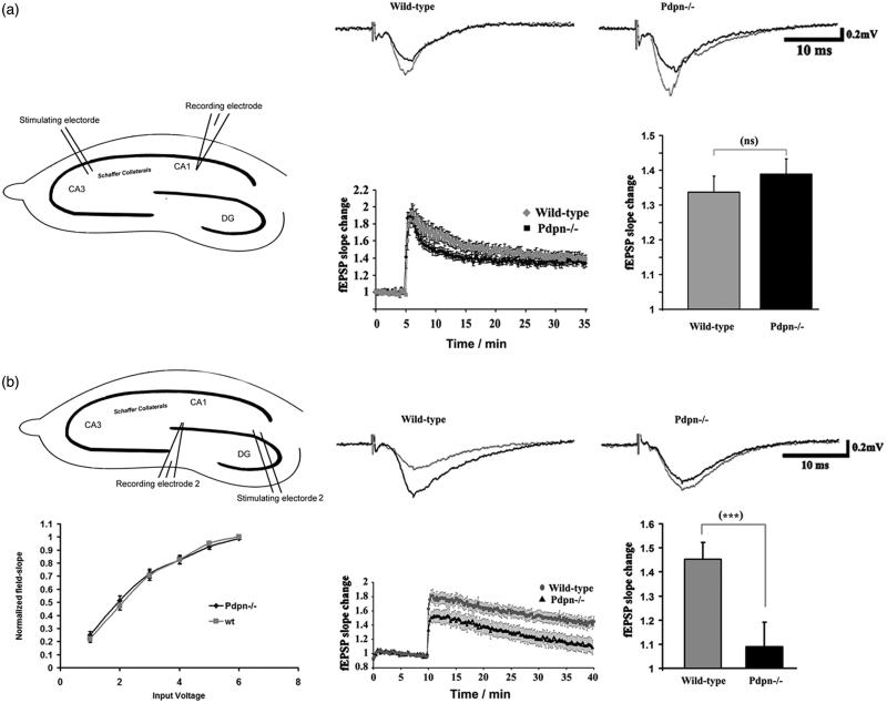 Podoplanin deletion selectively impairs long-term synaptic plasticity in the hippocampal dentate gyrus. (a) Comparative examinations of LTP in CA3-Schaffer collateral-CA1 synapses (inset cartoon in left represents the positioning of stimulating and recording electrodes) of slices obtained from wild-type and podoplanin−/− mice (n = 9 animals per group). (b) No differences in basal synaptic transmission (left) was detected at the dentate gyrus (inset cartoon in left represents the positioning of stimulating and recording electrodes) in hippocampal slices from podoplanin−/− and control wild-type mice as examined by input/output protocols. Right, representative fEPSPs traces (upper insets); temporal courses (lower chart plot) of averaged field-postsynaptic-potential-slopes; and corresponding bar graphs of the end-time points (right) of data obtained before and after application of electrical stimulation inducing long-term-potentiation (LTP) in the dentate gyrus. A mixed-model repeated measure ANOVA indicated no main effect of genotype (p > 0.05), a highly significant main effect of time (F 158,82 = 57.05, p