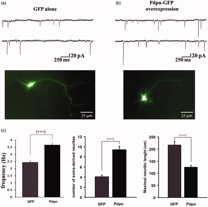 """Podoplanin overexpression promotes synaptic activity and neuritic outgrowth. Hippocampal """"sister"""" neurons from wild-type mice and cultured in identical conditions were transfected with a DNA plasmidic vector encoding for either the expression of the GFP alone (a) or with DNA encoding for a podoplanin-GFP fusion protein (b). Recordings of mEPSCs revealed a significant increase in the frequency of spontaneous synaptic events in neurons expressing podoplanin relative to those expressing GFP alone (representative current traces, upper panels a-b and bar graph, left in (c). Overexpressing of podoplanin also resulted in larger number of soma-derived neurites, which appeared shorter in length (pictures illustrating representative neurons, a-b lower panels, and bar graphs, middle and right in (c). Data are displayed as mean ± SEM. ***(p ≤ 0.001)."""