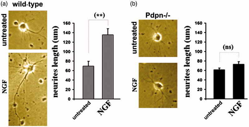 Podoplanin deletion hampers NGF-induced neuritic outgrowth. (a) Hippocampal neurons from wild-type mice developed observable neuritic extensions after three days in regular culture conditions (left). Neurites appear lengthened after three days of daily treatment with 50 ng/mL of NGF (middle). Right, bar graph comparison shows significant increase induced by NGF. (b) Hippocampal neurons from podoplanin−/− mice developed neuritic extensions comparable to those of wild-type after three days in regular conditions (left) but NGF treatment did not enhance neurite length (middle and right bar graph). Data are displayed as mean ± SEM. **(p ≤ 0.01), ns (p > 0.05).
