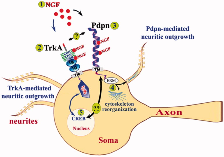 """A proposed model for podoplanin signaling in the brain neurons. Extracellular NGF (1) binds to LRR or Ig-like domains of its canonical TrkA receptor (2) (it can also bind to p75 receptors not represented here) to induce well established CREB-mediated neuritic outgrowth important for synaptic plasticity and learning and memory. Concomitantly, extracellular NGF (1) can physically interact with podoplanin (3) to modulate podoplanin-related signaling via intracellular partners like Ezrin (4) to promote cytoskeleton reorganization and hence neuritic protrusion or retraction thus affecting the synaptic function. Whether podoplanin can also directly interact with TrkA receptors (""""?"""" in the figure) thus affecting NGF/TrkA-mediated CREB signaling or whether podoplanin may, on its own ability, affect NGF-mediated CREB signaling (5) via a NGF/podoplanin signaling pathway (""""??"""" in the figure) remains to be characterized."""