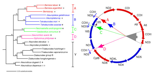 Summary of the major transpositions occurring in the mitochondria of whiteflies and the relationship of these changes to the phylogeny of whitefly species . The phylogenetic tree was obtained on the basis of combined mitochondrial cytB-N22-16S rDNA and Portiera endosymbiont 16S* and 23S* rDNA using the maximum likelihood method. Numbers at nodes correspond to bootstrap values after 500 replicates. The combination of the host and endosymbiont sequence data is justified by their cospeciation [6]. A, B, C, D indicate transposition type; Y, indicates mitochondria with an ancestral gene arrangement. Large arrowhead in mitochondrial genome indicates the original position of the transposed genes. Small arrowheads indicate the position of the insertion of the genes. Arrows outside circle indicate the direction of the transcription of the transposed genes. Arrow by the arrowhead of the B type transposition indicates the changed direction of transcription of the 12S rDNA . tRNAs have been omitted. (*), by species names indicate that the full mitochondrial genome was sequenced. (+), by species names indicates that a DNA fragment containing all or a part of the gene encoding for COIII and adjacent genes was sequenced. (o), by species name indicates that using oligonucleotide primers to COII and ND5 a PCR product was obtained corresponding to a size that was consistent with the presence of COIII-(tRNA-G)-ND3-(tRNAs-A-R-N) in the ancestral position (Fig. 8).