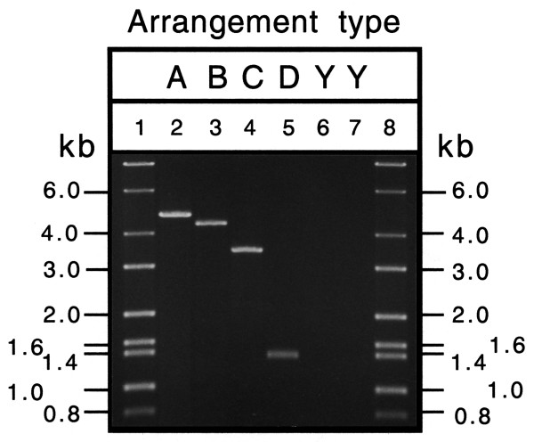 Agarose gel electrophoresis of PCR products amplified from whole insect DNA using primers complementary to regions encoding COIII and cytB . A, B, C, D, refers to different gene arrangement types; Y, ancestral arrangement. Lanes 1 and 8 molecular size markers; lane 2, Bemisia tabaci ; lane 3, Tetraleurodes acaciae ; lane 4, Neomaskellia andropogonis ; lane 5, Aleurochiton aceris ; lane 6, Trialeurodes vaporariorum ; and lane 7, Aleurodicus dugesii .