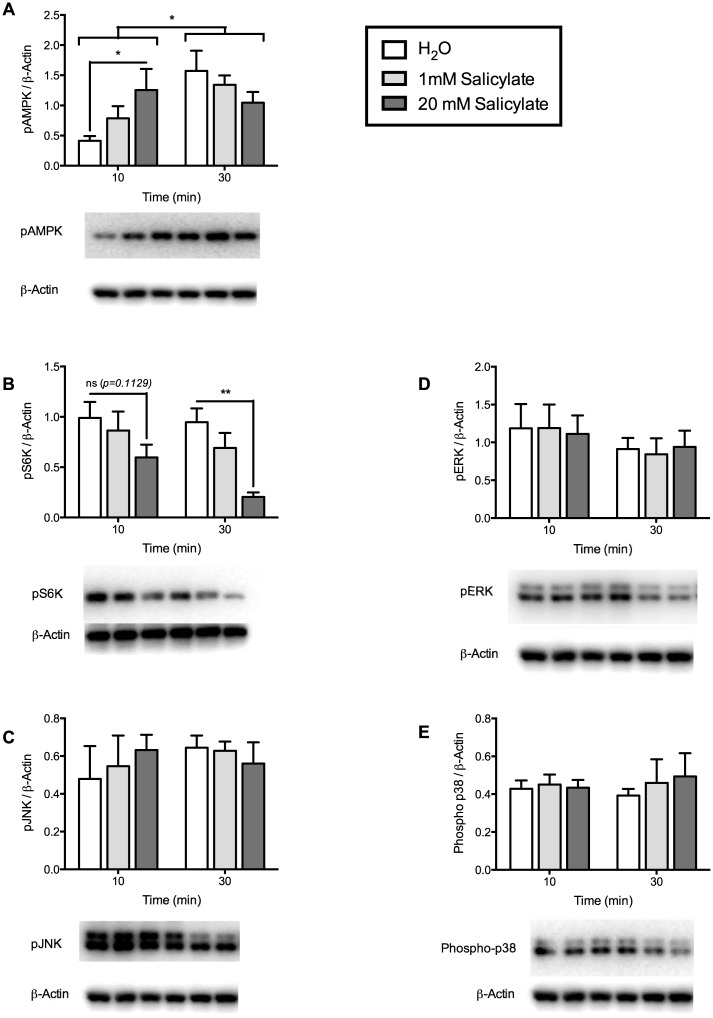 Phosphorylation of secondary-signaling molecules were regulated by sodium salicylate treatment in mHypoE-46 neurons. Cells were treated with 1 or 20 mM of sodium salicylate or H 2 O vehicle for 10 and 30 min. Protein was isolated for Western blot analysis. Levels of phospho-proteins were normalized to β-actin and expressed as mean ± SEM. Representative blots for phospho-proteins and β-actin are depicted beneath each graph. 20 mM sodium salicylate increased AMPK (A) phosphorylation and decreased S6K (B) phosphorylation at 10 ( *p