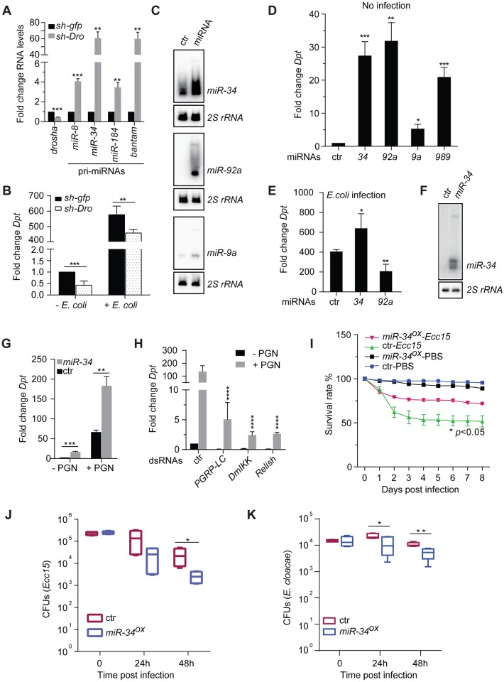 Over-expression of miR-34 activates innate immunity signaling. ( A ) Total RNA was isolated from male progeny from crossing flies carrying the ubiquitously expressed da-Gal4 driver and a temperature-sensitive Gal80 transgene ( da > Gal4 tub-Gal80 ts ) to UAS-shRNA lines targeting Drosha or the control gfp . Flies crosses were kept at 18°C and progeny were shifted to 29°C for 5 days upon eclosure to induce shRNA expression. Steady-state levels of mRNAs encoding Drosha and several primary miRNA transcripts were measured by qRT-PCR, and normalized to levels of the RpL32 mRNA. RNA isolated from da > gfp shRNA males serves as negative control. (n = 3). ( B ) Flies were left untreated (- E . coli ) or infected by E . coli via septic injury (+ E . coli ), total RNAs were extracted 6 hours post-infection and mRNAs encoding the AMP Diptericin was measured and normalized to levels of RpL32 (n = 5; mean + standard deviation ( SD )). ( C-E ) Select miRNAs were over-expressed in flies by crossing UAS-miRNA transgenic lines da > Gal4 tub-Gal80 ts flies. Flies crosses were kept at 18°C and progeny were shifted to 29°C for 5 days upon eclosure to induce miRNA expression. ( C ) Northern blot shows levels of select miRNAs (right) in control and miRNA over-expression flies. 2S rRNA serves as loading control. In addition, flies were either uninfected ( D ) or infected with E . coli via septic injury ( E ). Total RNA was isolated from flies 6 hrs post-infection and levels of Diptericin mRNA were measured by RT-qPCR and normalized to the RpL32 mRNA. RNA samples from da > gfp shRNA flies serves as control. Note that levels of the Diptericin mRNA in non-infected and E . coli -infected da > gfp shRNA flies serve as baseline controls in both D and E (n≥4). ( F ) A Northern blot shows miR-34 expression levels in naïve S2 cells and miR-34 overexpression cells (both were treated with 20-HE at 1 μM for 24 hrs). ( G ) S2 cells over-expressing miR-34 and control cells were both treated with 20 hyd