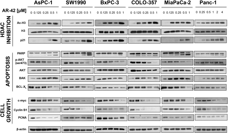 Effects of AR-42 on various biomarkers of apoptosis, HDAC inhibition, and proliferation. Human PDAC cells (AsPC-1, SW1990, BxPC-3, COLO-357, and PANC-1) were treated with AR-42 for 48 hours at the concentrations indicated, and cell lysates were made for Western blotting. Immunoblots of markers of HDAC inhibition (A), apoptosis (B), and proliferation and G2 cell cycle arrest (C). β-Actin was used as a loading control.