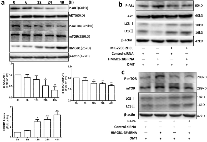 OMT induced autophagy in SW982 cells through the HMGB1/Akt/mTOR pathway. ( a ) Cells were treated with 2 mM OMT for the indicated times, and the protein expression of Akt, p-Akt, mTOR, p-mTOR and HMGB1 was detected by western blotting. ( b ) After SW982 cells were untreated or pretreated with 5 μM MK-2206 2HCL, an Akt inhibitor, for 2 h, they were transfected with HMGB1 3#siRNA or control siRNA, followed by 2 mM OMT treatment for another 48 h. Western blotting was used to determine the levels of LC3, Akt and p-Akt expression. The cells were untreated or pretreated with 100 nM Rapa for 2 h and then transfected with HMGB1 3#siRNA or control siRNA, followed by 2 mM OMT treatment for another 48 h. The expression of LC3, mTOR and p-mTOR was determined via western blotting ( c ). Loading control was performed by evaluating β-actin expression in the same filter. *p