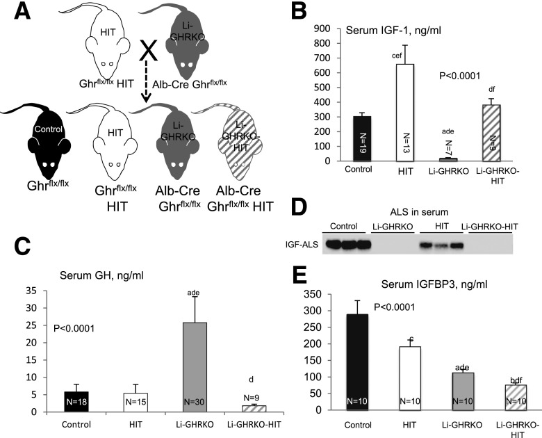 Restoration of hepatic IGF-1 gene expression in Li-GHRKO mice. A : HIT were crossed with Li-GHRKO mice to yield the following groups: control mice harbored the floxed ghr gene, HIT mice harbored the rat IGF-1 transgene and floxed ghr gene, Li-GHRKO harbored the floxed ghr gene and albumin (Alb) promoter–derived Cre transgene, and the Li-GHRKO-HIT mice harbored the floxed ghr gene, albumin promoter–derived Cre transgene, and HIT. B : Serum IGF-1 levels in male mice at 16 weeks of age. C : Serum GH levels in male mice at 8–16 weeks of age. D : Serum ALS levels of 16-week-old male mice. E : Serum IGFBP-3 in male mice at 16 weeks of age. Data presented as mean ± SEM. N indicates sample size. Significance accepted at P