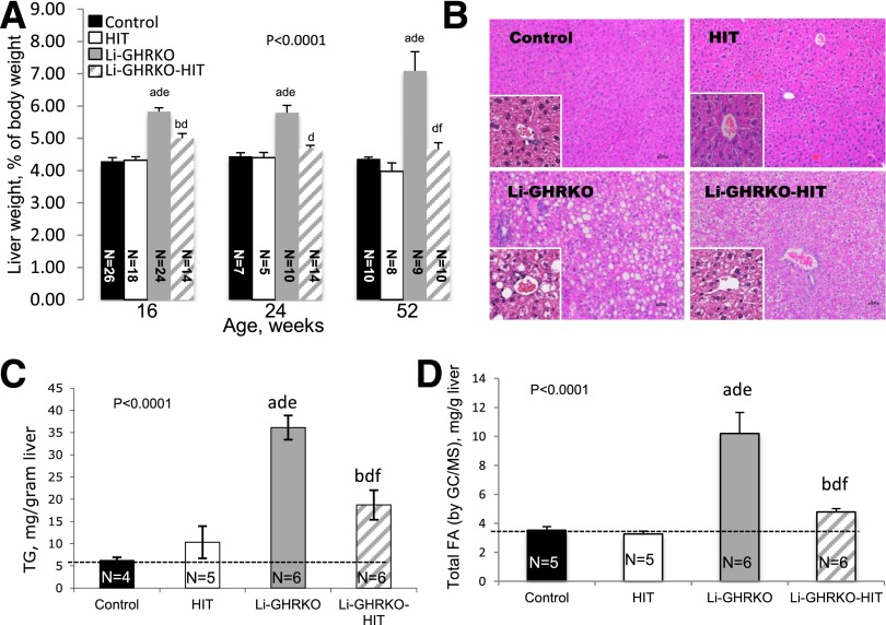 Hepatic Igf-1 transgene does not resolve hepatic steatosis in the Li-GHRKO mice. A : Relative liver wet-weight to body weight was followed in several age groups as indicated. B : Hematoxylin/eosin staining of liver sections from 16-week-old control, Li-GHRKO, HIT, and Li-GHRKO-HIT mice. Scale bars = 100 μm. C : Hepatic TG content. D : Hepatic FA content in 16-week-old male mice measured by GC/MS. Data presented as mean ± SEM. N indicates sample size. Significance accepted at P