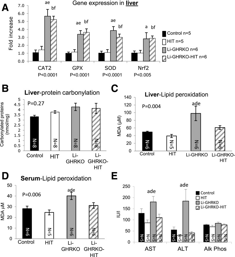 Hepatic IGF-1 modulates oxidative stress in liver and serum. A : Liver gene expression of enzymes involved in oxidative stress response in males at 16 weeks measured by real-time PCR. B : Protein carbonylation was determined using a spectrophotometric assay of liver protein extracts from male mice at 24 weeks of age. Lipid peroxidation measured using thiobarbituric acid–reactive substances assay in liver ( C ) and serum ( D ) from male mice at 24 weeks of age. E : Serum levels of AST, ALT, and alkaline phosphatase (Alk Phos) in males at 16 weeks of age. Data presented as mean ± SEM. N indicates sample size. Significance accepted at P