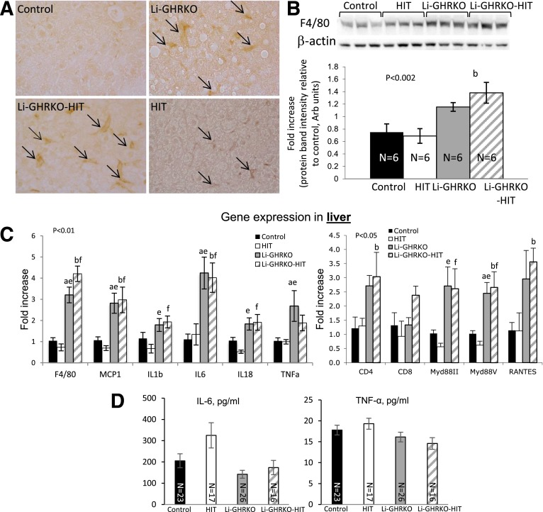 Hepatic IGF-1 modulates oxidative stress in liver and serum but is insufficient to resolve liver inflammation in the Li-GHRKO mice. A : Liver sections from 16-week-old mice immunostained with anti-F4/80 antibody; arrows indicate F4/80-positive cells. B : F4/80 protein levels assessed by Western immunoblotting in 16-week-old mice. C : Liver gene expression of inflammatory markers ( n = 6/genotype). D : Serum levels of IL-6 and TNF-α at 16–24 weeks of age. Data presented as mean ± SEM. N indicates sample size. Significance accepted at P