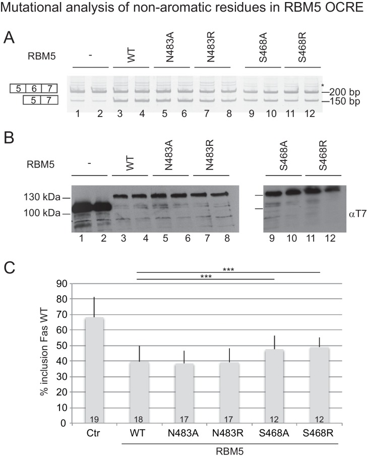 Effect of mutation of non-aromatic residues in RBM5 OCRE on FAS alternative splicing regulation. ( A ) Mutations at position Ser468 of RBM5 OCRE domain impair the activity of the protein in FAS alternative splicing regulation ex vivo. HeLa cells were co-transfected with a FAS alternative splicing reporter and T7-RBM5 expression plasmids. RNA and proteins were isolated 24 hr after transfection. The pattern of alternative splicing was studied by RT-PCR using specific primers (PT1/PT2). Inclusion and skipping products are annotated. The asterisk indicates non-specific amplification. ( B ) Protein expression corresponding to the samples in ( A ), detected by western blot with an anti-T7 epitope antibody. ( C ) Quantification of the activity of RBM5 OCRE domain mutants on FAS alternative splicing regulation for 12 to 19 replicates, as indicated at the bottom of the histogram bars. Average and standard deviation of the percentage of inclusion is represented. T-test (two-tailed distribution, homoscedastic) results are indicated (***
