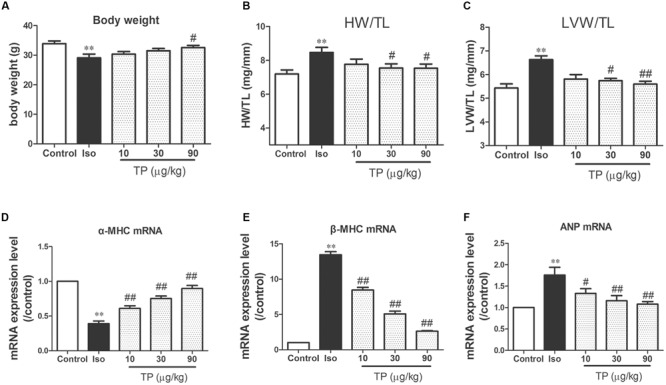 Triptolide attenuated cardiac hypertrophy in mice. Cardiac hypertrophy was induced by isoproterenol (Iso, 5 mg/kg, s.c., for 14 days) in mice ( n = 8–10 in each group). (A) Body weight; (B) heart weight (HW) index to tibia length (TL); (C) left ventricular weight (LVW) indexes to TL; (D) α-myosin heavy chain <t>(MHC)</t> mRNA expression level; (E) <t>β-MHC</t> mRNA expression level; (F) atrial natriuretic peptide (ANP) mRNA expression level. These mRNA expression levels were measured with Real-time PCR method and normalized to β-actin and control group, respectively. The data are presented as mean ± SEM, ∗∗ p