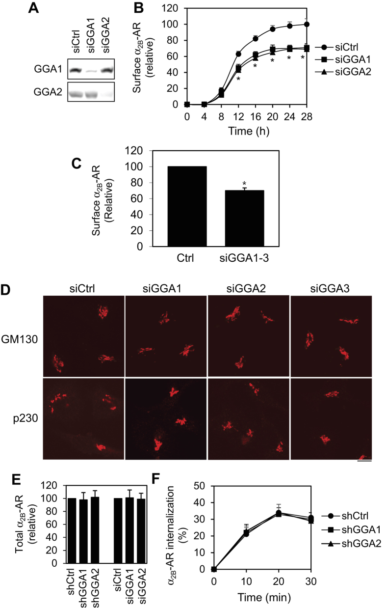 Inhibition of cell surface expression of α 2B -AR by siRNA-mediated depletion of GGA1 and GGA2. ( A ) siRNA-mediated depletion of GGA1 and GGA2 in HEK293 cells. ( B ) Effect of siRNA-mediated knockdown of GGA1 and GGA2 on the cell surface expression of α 2B -AR. HEK293 cells inducibly expressing α 2B -AR were transfected with control siRNA or siRNA targeting GGA1 and GGA2 and incubated with doxycycline as described in legends of Fig. 1B . The average specific binding of [ 3 H]-RX821002 from cells without siRNA transfection and treated with doxycycline for 28 h was 34,423 ± 563 cpm per well. ( C ) Effect of combination knockdown of GGA1, GGA2 and GGA3 on the cell surface expression of α 2B -AR in HEK293 cells. ( D ) Effect of knockdown of GGA1, GGA2 and GGA3 on the Golgi structure. HEK293 cells were transfected with control or GGA siRNA for 48 h and then stained with antibodies against GM130 (1:200 dilution) and p230 (1:100 dilution) overnight. Scale bar, 10 μm. ( E ) Effect of GGA1 and GGA2 knockdown on total α 2B -AR expression. HEK293 cells inducibly expressing α 2B -AR were transfected with control or GGA shRNA or siRNA for 24 h and incubated with doxycycline (40 ng/ml) for another 24 h. The overall α 2B -AR expression was measured by flow cytometry following staining with HA antibodies in permeabilized cells (n = 3). ( F ) Effect of GGA1 and GGA2 knockdown on the internalization of α 2B -AR. HEK293 cells stably expressing α 2B -AR were transfected with arrestin-3 and control or GGA shRNA and incubated with doxycycline as described above. The cells were then stimulated with epinephrine (100 μM) for 10, 20 and 30 min (n = 3). The cell surface expression of α 2B -AR was determined by intact cell ligand binding using [ 3 H]-RX821002. The data are presented as the mean ± S.E. of at least three individual experiments in ( B , C , E , F ). * p