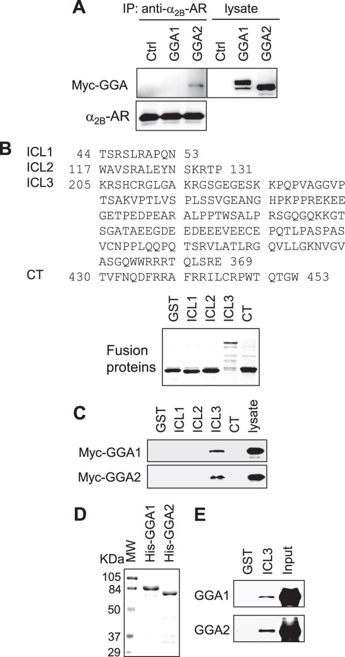Interaction of α 2B -AR with GGA1 and GGA2. ( A ) Interaction of α 2B -AR with GGA1 and GGA2 in co-immunoprecipitation assays. HEK293 cells stably expressing HA-α 2B -AR were transfected with control vector or myc-tagged GGA1 and GGA2. The receptors were immunoprecipitated with α 2B -AR antibodies. The amounts of GGA1 and GGA2 (upper panel) and α 2B -AR (lower panel) were determined by immunoblotting using myc and α 2B -AR antibodies, respectively. Lysate - 1% of total input. Similar results were obtained in three experiments. ( B ) Sequences of the ICL1, ICL2, ICL3 and C-terminus (CT) of α 2B -AR (upper panel) and Coomassie blue staining of purified GST fusion proteins (low panel). The calculated molecular weights of GST and the ICL1, ICL2, ICL3, and CT GST fusion proteins are 27,898, 27,422, 28,070, 43,779 and 29,348 daltons, respectively. ( C ) Interaction of different intracellular domains of α 2B -AR with GGA1 and GGA2. Myc-tagged GGA1 and GGA2 were expressed in HEK293 cells and total cell homogenates were incubated with GST fusion proteins. Bound GGAs were revealed by immunoblotting using anti-myc antibodies. ( D ) Purified His-tagged GGA1 and GGA2. The molecular weight (MW) markers (KDa) are indicated on the left. ( E ) Direct interaction of the α 2B -AR ICL3 with GGA1 and GGA2. Purified His-tagged GGA1 and GGA2 were incubated with GST-ICL3 fusion proteins and bound GGAs were detected by immunoblotting using anti-His antibodies. Similar results were obtained in at least three separate experiments. Lysate −5% of total input. Similar results were obtained in at least 3 experiments.