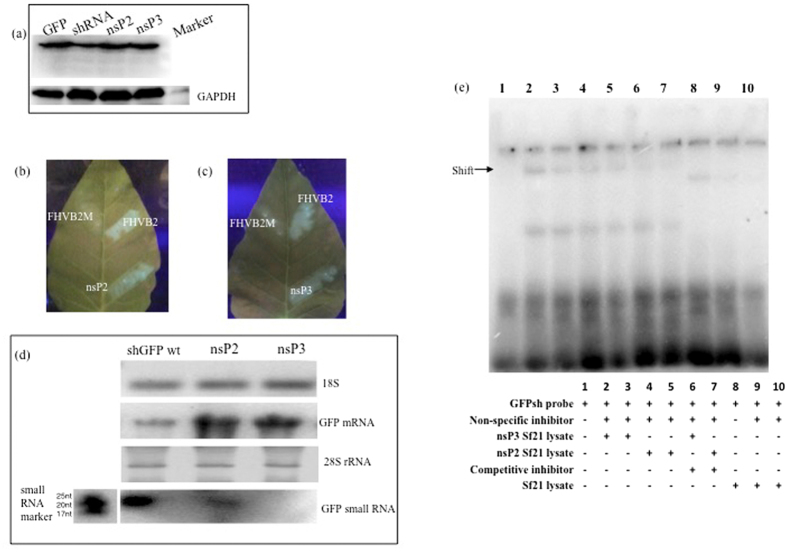 In vitro and in vivo assays to validate VSR activity. ( a ) Western blotting to show changes in GFP levels upon transfection with nsP2 and nsP3. Sf21 sensor cell line was transfected with VSRs and western blotting was done using anti-GFP antibody. GADPH was used as housekeeping control. ( b and c ) CHIKV nsP2 and nsP3 show RNAi suppressor activity in in vivo system. Transgenic Nicotiana leaves with GFPshRNA stably integrated were infiltrated with VSR expressing Agrobacterium cultures and checked for GFP reversion under UV transilluminator. FHVB2 was used as positive control and mutated FHVB2 was the negative control. FHVB2M shows necrosis marks due to infiltration, but no GFP reversion was seen. ( d ) Northern blotting to show changes in GFP mRNA and small RNA levels upon VSR infiltration in Nicotiana leaves. RNA isolated from infiltrated leaves was used to detect GFP mRNA levels using GFPshRNA oligonucleotide end labelled with [γ32P] ATP. 18 S was used as housekeeping control. GFP small RNA population was detected by northern blotting using 700 bp DIG labelled GFP probe. 28SrRNA was used as house keeping control. ( e )Electrophoretic mobility shift assay (EMSA) using labeled GFPshRNA probe and VSR transfected Sf21 cell lysate. GFPshRNA oligonucleotide was end-labelled with [γ32P] ATP and mixed with different concentrations of VSR transfected Sf21 cell lysate. Lane 1: Free shRNA probe; lane 2, 3, 4, 5: Different concentrations of nsP3 (30 μg, 20 μg) and nsP2 (30 μg, 20 μg) transfected Sf21 lysate respectively; lane 6 7: nsP3 and nsP2 transfected Sf21 cell lysate with 100 fold unlabelled GFPshRNA probe; lane 8, 9 10: binding of untransfected Sf21 cells to GFPshRNA in the absence and presence (1 μg 2 μg) of uncompetitive inhibitor. Salmon sperm DNA (2 μg) was used as non specific inhibitor in all binding reactions.