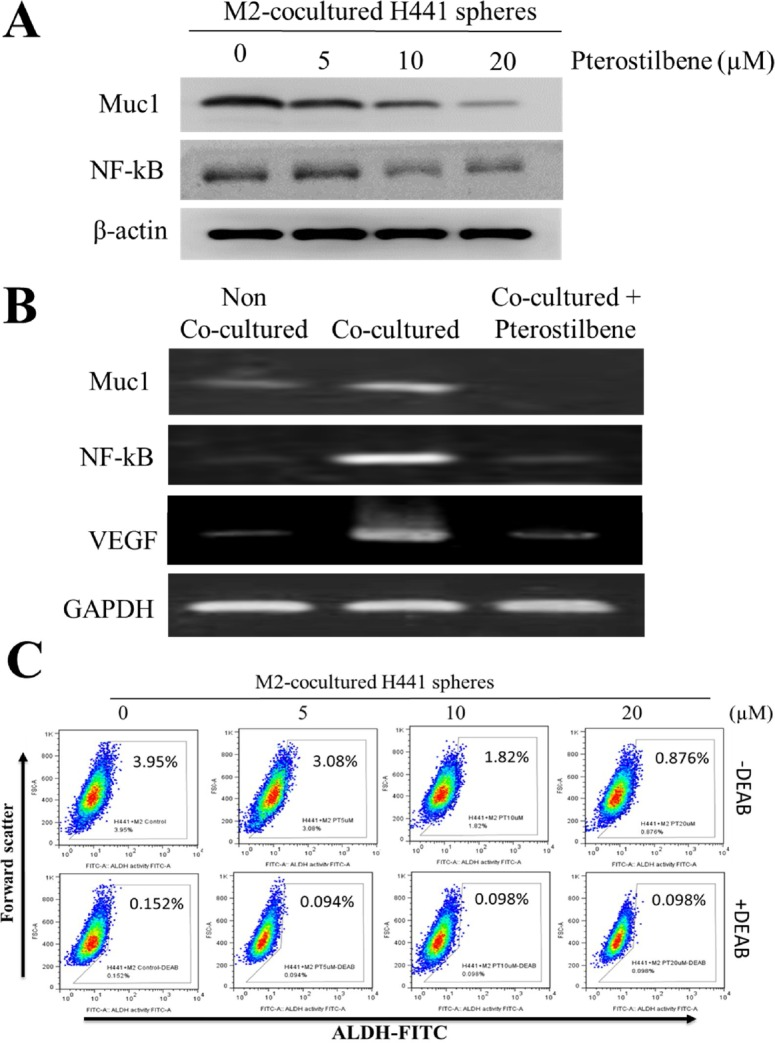 Pterostilbene treatment prevented M2 polarization via down-regulation of Muc1/NF-κB signaling axis A. Pterostilbene treatment suppressed the Muc1 and NF-κB expression in M2 polarization of THP-1 cells. B . Muc1, NF-κB and VEGF mRNA expression levels in M2 polarization of THP-1 cells were significantly decreased after co-culturing with pterostilbene in H441 cells. C . FACS analysis indicated that in the presence of pterostilbene, the percentage of ALDH subpopulation cells in TAM co-cultured H441 was significantly decreased.
