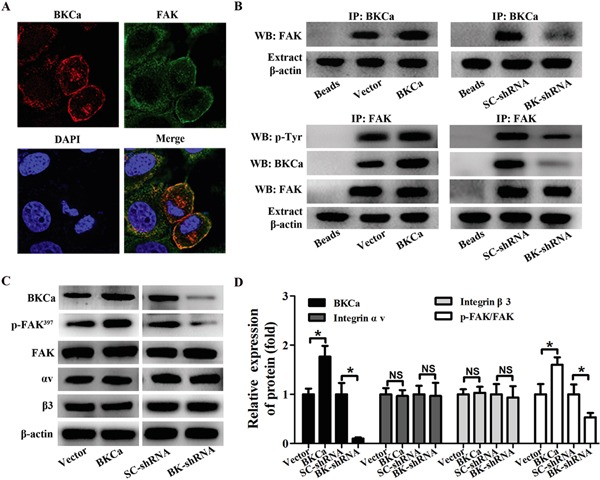 Modulation of FAK phosphorylation in PC3 cells by BKCa/αvβ3 complex A. Immunocolocalization of BKCa (red) and FAK (green). B. Co-immunoprecipitation of FAK and BKCa in PC3 cells. Cells were transfected with BKCa or BK-shRNA and their corresponding negative control vectors. Proteins were extracted and immunoprecipitated using anti-BKCa or anti-FAK antibodies; blots were probed with anti-FAK, anti-pTyr100 or anti-BKCa antibodies. Bead lanes contained the protein G conjugated sepharose beads used during the immunoprecipitation without the protein input. Equal amount of protein extract from each group was subjected to Western blot with β-actin as the loading control. C-D. Western blot analysis of the expression of BKCa, p-FAK (Y397), FAK and αvβ3 integrin in response to BKCa upregulation or downregulation. All the experiments were performed in triplicate. The data are shown as the means ± se. *P