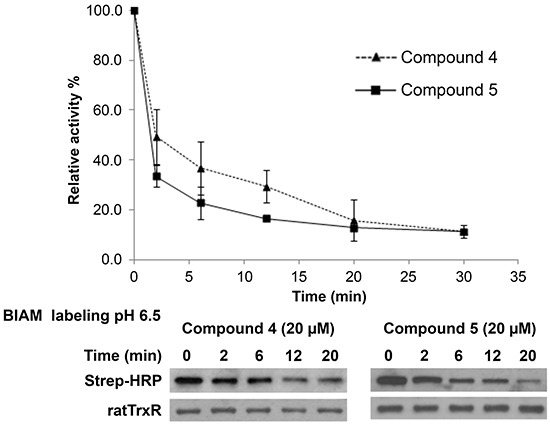 Investigation of the interaction of lead indolin-2-one compounds with the Sec residue in the C-terminal active center of TrxR Recombinant rat TrxR (0.9 μM) was incubated with 20 μM of the lead compounds and 200 μM NADPH. At indicated timepoints, an aliquot of enzyme mixture was drawn for TrxR activity measurement by DTNB reduction assay and BIAM labelling at pH 6.5. Top panel: time course of TrxR enzyme activity; bottom panel: horseradish peroxidase (HRP)-conjugated streptavidin detection of BIAM labeling of free selenol at pH 6.5 at various incubation times. Results presented are representative of three independent experiments.