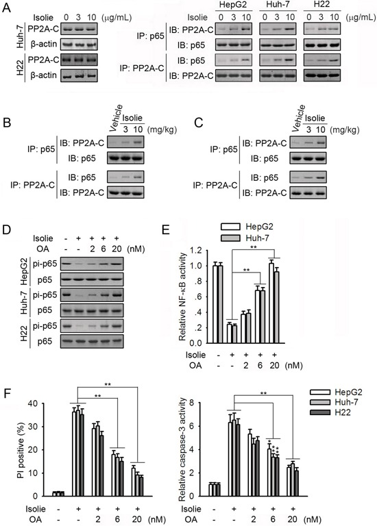 PP2A participated in isolie-induced p65 dephosphorylation A. Indicated HCC cells were treated with different concentrations of isolie. After 24 h, protein levels of PP2A-C (left) and p65/PP2A interaction (right) were determined. B. Indicated dosages of isolie or vehicle were intraperitoneally injected into tumor-bearing nude mice over the course of 3 weeks. Finally, effects of isolie on p65/PP2A interaction in Huh-7 tumor tissues were determined. C. Kunming mice bearing H22 tumors were treated with indicated dosages of isolie by gavage for 10 d. Then, effects of isolie on p65/PP2A interaction in transplanted tumor tissues were detected. D, E. HCC cells were treated with 10 μg/mL isolie and indicated concentrations of OA. After 24 h, phosphorylation of p65 at Ser536 was determined (D), and NF-κB activity was measured by NF-κB-dependent luciferase reporter assay (E). F. Cells were subjected to the same treatment as described in D and E. Cell apoptosis was quantified by FACS (left) and caspase-3 activity assay (right) 48 h later. * p