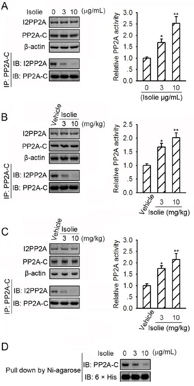 Isolie suppressed PP2A/I2PP2A interaction A. HepG2 cells were incubated with indicated concentrations of isolie for 24 h. Then, PP2A/I2PP2A interaction was detected by immunoprecipitation (left). Phosphatase activity of immunoprecipitated PP2A was quantified by phosphatase activity assay (right). B. Indicated dosages of isolie or vehicle were injected intraperitoneally into nude mice bearing Huh-7 xenograft tumors. In the end, tumor lysates were prepared and subjected to the same experiments as described in A. C. Kunming mice bearing H22 transplanted tumors were treated with indicated dosages of isolie by gavage. In the end, tumor lysates were prepared and subjected to the same experiments as described in A. D. Purified 6 × his-tagged I2PP2A proteins already associated with Ni-NTA agarose were incubated with purified PP2A-C proteins and indicated concentrations of isolie. Amounts of PP2A-C proteins bound to I2PP2A proteins in vitro were determined by immunoblotting. * p