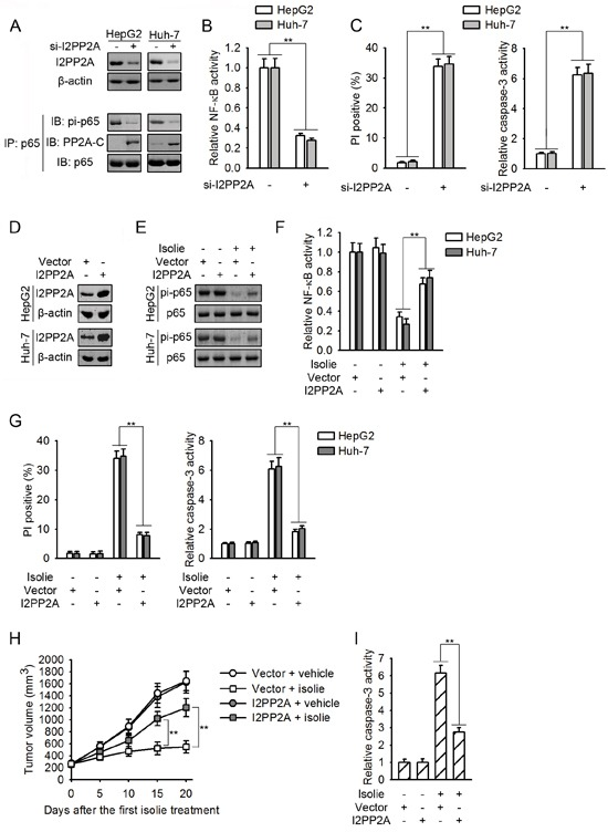 Isolie-provoked p65 dephosphorylation was initiated by decreased PP2A/I2PP2A interaction A, B, C. HCC cells were transfected with control or I2PP2A specific siRNA. After 48 h, levels of I2PP2A and effect of I2PP2A knockdown on p65/PP2A association as well as p65 phosphorylation at Ser536 were determined (A). NF-κB activities were measured by luciferase reporter assay (B). After 72 h, cell apoptosis were quantified by FACS (C, left) and caspase-3 activity assay (C, right). D. The encoding gene of human I2PP2A was stably transfected into indicated HCC cells, using empty vectors as the negative control. Then, I2PP2A proteins were detected. E, F. HCC cell transfectants as indicated were treated with 10 μg/mL isolie. After 24 h, levels of p65 phosphorylation at Ser536 (E) and NF-κB activity (F) were detected. G. Indicated HCC cell transfectants were incubated with 10 μg/mL isolie. After 48 h, cell apoptosis was detected by FACS (left) and caspase-3 activity assay (right). H, I. Indicated Huh-7 HCC cell transfectants were subcutaneously transplanted into nude mice. When volumes of xenograft tumors reached about 200 mm 3 , mice were treated with 10 mg/kg isolie or vehicle once daily for 20 d by gavage. Tumor growth was monitored every 5 d (H). Finally, xenograft tumor lysates were prepared and subjected to caspase-3 activity assay (I). ** p