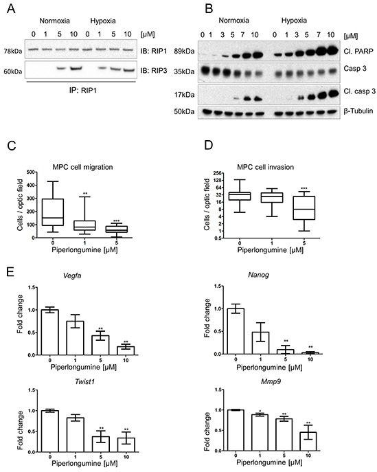 Piperlongumine activates apoptosis and necroptosis, and inhibits cell migration and invasion A. RIP1-IP was performed on cell lysates from MPC cells treated with the indicated concentrations of PL at 21% and 1% O 2 for 24 hours and probed for RIP1 (top lane) and RIP3 (bottom lane). A representative image (n=3) is shown. B. MTT cells were treated with indicated concentrations of PL at 21% and 1% O 2 for 24 hours. Total cell lysates were analyzed by Western blot for cleaved PARP, cleaved caspase 3 and caspase 3. β-tubulin was used as a loading control. The representative image (n=3) is shown. C. 1.5 × 10 5 MPC cells were plated in the upper part of transwell chambers and allowed to migrate for 24 hours in the presence of 0, 1, and 5μM PL. The box and whiskers graph represents data from three independent experiments. D. 1.5 × 10 5 MPC cells were plated in the upper part of matrigel-coated transwell chambers and allowed to migrate for 24 hours in the presence of 0, 1, and 5μM PL. The box and whiskers graph represents data from three independent experiments. E. MPC cells were treated with indicated concentrations of PL for 24 hours. mRNA expression levels of Twist1, Vegfa, Mmp9, and Nanog were assessed by quantitative real-time PCR. The target gene transcript levels were normalized to Actb . A graph represents data from three independent experiments as mean +/− SEM. *P