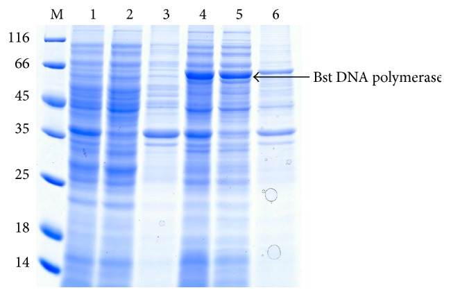 SDS-PAGE analysis of the WT of Bst DNA pol LF. M: protein ladder marker shown in kDa on the left sides of panels; 1: uninduced whole cell sample; 2: supernatant fraction of uninduced sample; 3: pellet fraction of uninduced sample; 4: whole cell sample after induction for 6 h; 5: supernatant fraction after induction for 6 h; 6: pellet fraction after induction for 6 h. Corresponding position of Bst DNA pol LF was marked by black arrow.